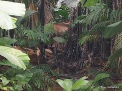 Seychelles. Praslin. Valle de Mai. Horne's Pandanus (Pandanus hornei) (4)