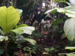 Seychelles. Praslin. Valle de Mai. Verschaffeltia splendida (2)