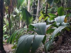 Seychelles. Praslin. Valle de Mai. Verschaffeltia splendida