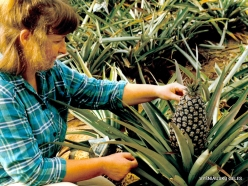 Hua Hin. Pineapple (Ananas comosus)