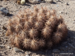 Joshua Tree National Park. Colorado desert. Echinocereus sp.