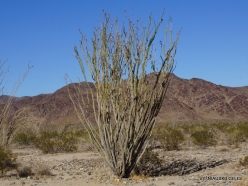 Joshua Tree National Park. Colorado desert. Ocotillo (Fouquieria splendens) (3)