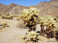 Joshua Tree National Park. Colorado desert. Teddy bear cholla (Cylindropuntia bigelovii) (6)