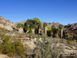 Joshua Tree National Park. Lost Palms Oasis (2)