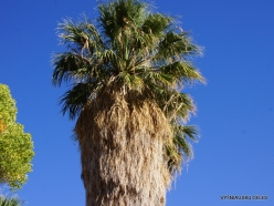 Joshua Tree National Park. Lost Palms Oasis. Desert Fan Palm (Washingtonia filifera) (6)