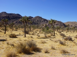 Joshua Tree National Park. Mojave desert (11)
