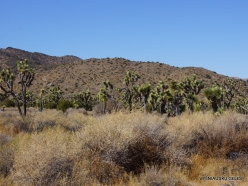 Joshua Tree National Park. Mojave desert (34)