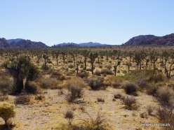 Joshua Tree National Park. Mojave desert (9)