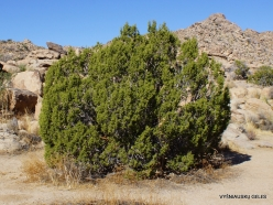 Joshua Tree National Park. Mojave desert., California juniper (Juniperus californica) (2)