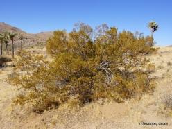 Joshua Tree National Park. Mojave desert. Creosote Bush (Larrea tridentata) (2)