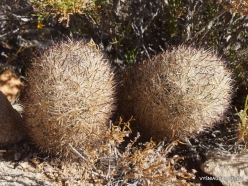 Joshua Tree National Park. Mojave desert. Echinocereus sp. (6)