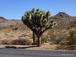Joshua Tree National Park. Mojave desert. Joshua Tree (Yucca brevifolia) (1)