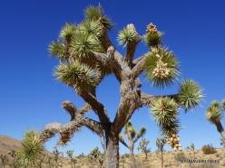 Joshua Tree National Park. Mojave desert. Joshua Tree (Yucca brevifolia) (10)