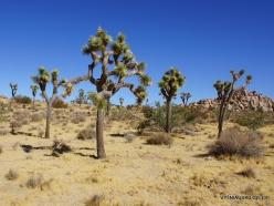 Joshua Tree National Park. Mojave desert. Joshua Tree (Yucca brevifolia) (11)