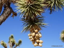 Joshua Tree National Park. Mojave desert. Joshua Tree (Yucca brevifolia) (14)