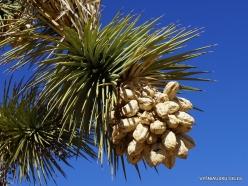 Joshua Tree National Park. Mojave desert. Joshua Tree (Yucca brevifolia) (30)