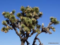 Joshua Tree National Park. Mojave desert. Joshua Tree (Yucca brevifolia) (31)
