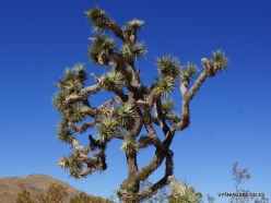 Joshua Tree National Park. Mojave desert. Joshua Tree (Yucca brevifolia) (5)