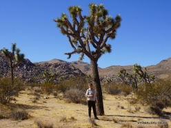 Joshua Tree National Park. Mojave desert. Joshua Tree (Yucca brevifolia) (6)