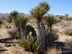 Joshua Tree National Park. Mojave desert. Mojave Yucca (Yucca schidigera) (1)