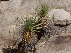 Joshua Tree National Park. Mojave desert. Mojave Yucca (Yucca schidigera) (6)