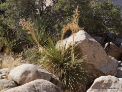 Joshua Tree National Park. Mojave desert. Parry's Beargrass (Nolina parryi) (6)