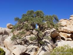 Joshua Tree National Park. Mojave desert. Pinyon Pine (Pinus monophylla) (2)
