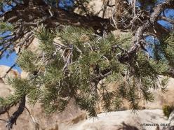 Joshua Tree National Park. Mojave desert. Pinyon Pine (Pinus monophylla)