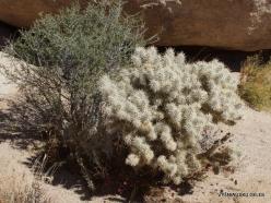 Joshua Tree National Park. Mojave desert. Silver cholla (Cylindropuntia echinocarpa) (12)