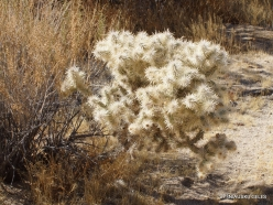 Joshua Tree National Park. Mojave desert. Silver cholla (Cylindropuntia echinocarpa) (7)