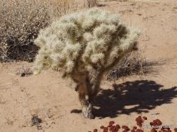 Joshua Tree National Park. Mojave desert. Silver cholla (Cylindropuntia echinocarpa) (8)