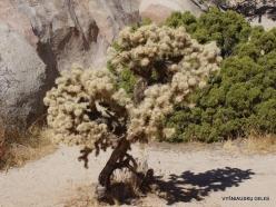 Joshua Tree National Park. Mojave desert. Silver cholla (Cylindropuntia echinocarpa) (9)
