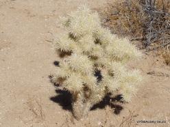 Joshua Tree National Park. Mojave desert. Silver cholla (Cylindropuntia echinocarpa)
