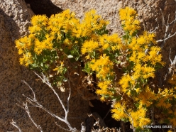 Joshua Tree National Park. Mojave desert. Wildflowers (1)