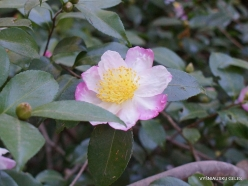 Los Angeles. Descanso Gardens. Camellia (2)