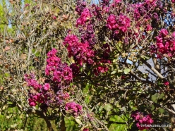 Los Angeles. Descanso Gardens. Crape Myrtle (Lagerstroemia)