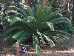 Los Angeles. Descanso Gardens. Cycadales. Encephalartos altensteinii