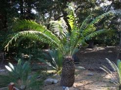 Los Angeles. Descanso Gardens. Cycadales. Encephalartos gratus