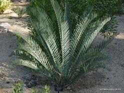 Los Angeles. Descanso Gardens. Cycadales. Encephalartos lehmanii