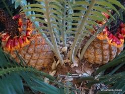 Los Angeles. Descanso Gardens. Cycadales. Encephalartos natalensis
