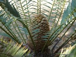 Los Angeles. Descanso Gardens. Cycadales. Encephalartos senticosus