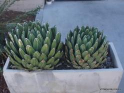 Los Angeles. Descanso Gardens. Queen Victoria agave (Agave victoriae-reginae) (2)
