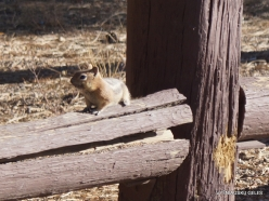 Bryce Canyon National Park. Golden-mantled ground squirrel (Callospermophilus lateralis) (2)