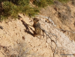 Bryce Canyon National Park. Golden-mantled ground squirrel (Callospermophilus lateralis) (3)