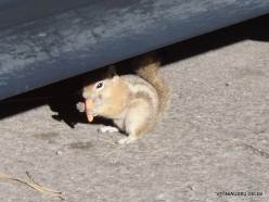 Bryce Canyon National Park. Golden-mantled ground squirrel (Callospermophilus lateralis)