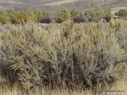 Central Utah steepe. Big sagebrush. (Artemisia tridentata) (1)