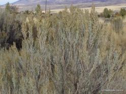 Central Utah steepe. Big sagebrush. (Artemisia tridentata) (2)