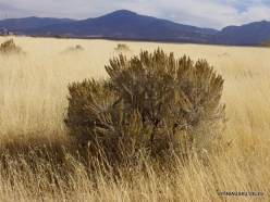 Central Utah steepe. Big sagebrush. (Artemisia tridentata) (5)
