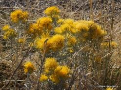 Great Salt Lake. Rubber rabbitbrush. (Ericameria nauseosa) (1)