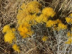 Great Salt Lake. Rubber rabbitbrush. (Ericameria nauseosa) (2)